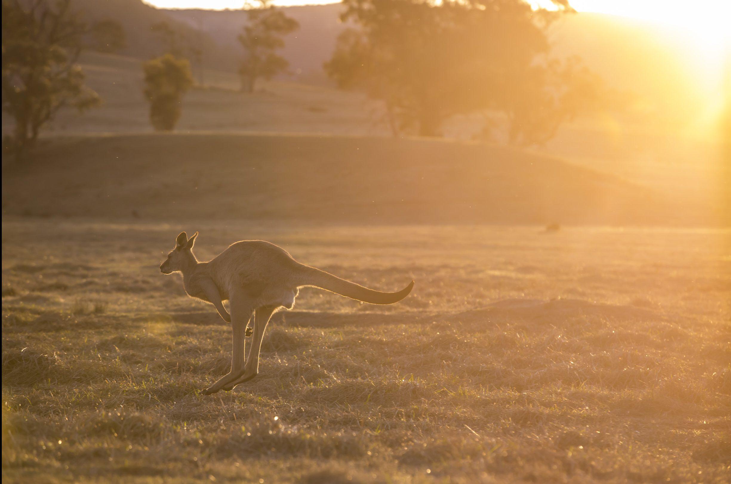 Kangaroo grazing at sunset at Emirates One&Only Wolgan Valley, Blue Mountains.